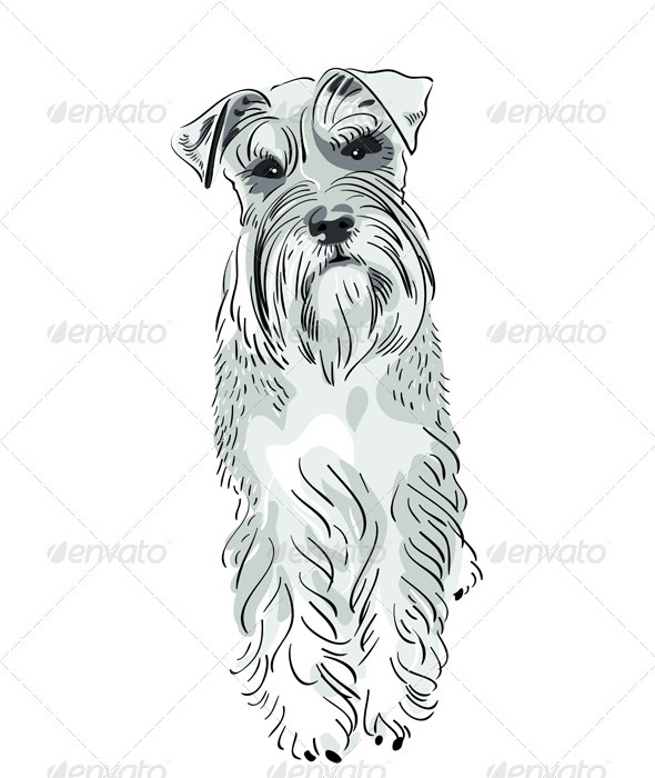 Vector Miniature Schnauzer dog serious salt-and-pe - Animals Characters