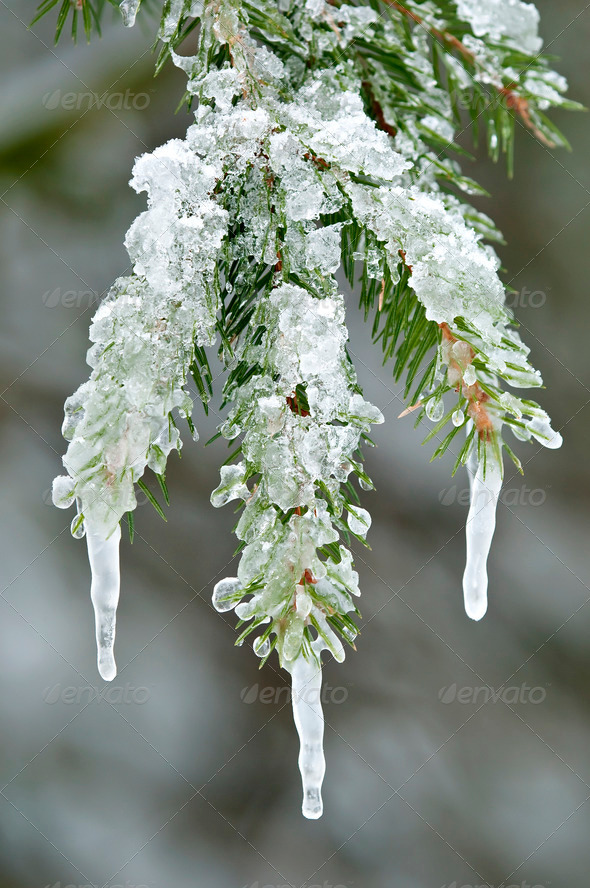 Ice on Red Spruce Leaves - Stock Photo - Images