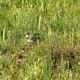 Little Ringed Plover (Charadrius Dubius) 1 - VideoHive Item for Sale