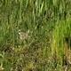 Little Ringed Plover (Charadrius Dubius) 2 - VideoHive Item for Sale