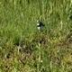 Little Ringed Plover (Charadrius Dubius) 3 - VideoHive Item for Sale