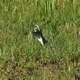 Little Ringed Plover (Charadrius Dubius) 4 - VideoHive Item for Sale