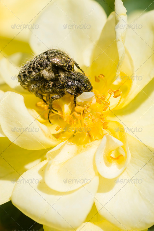 Insects and Ornamental rose - Stock Photo - Images