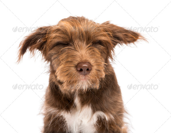 Close-up of a Crossbreed, 5 months old, with closed eyes, disgusted against white background - Stock Photo - Images