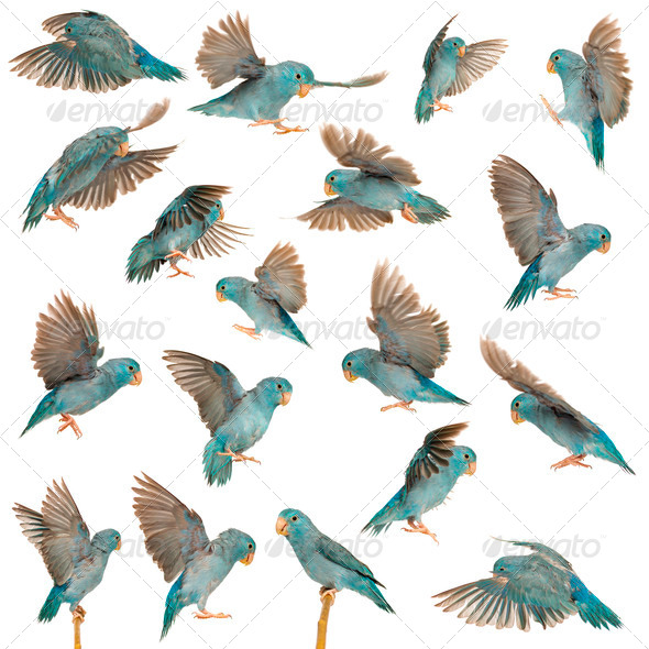 Composition of Pacific Parrotlet, Forpus coelestis, flying against white background - Stock Photo - Images