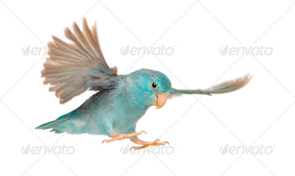Pacific Parrotlet, Forpus coelestis, flying against white background - Stock Photo - Images