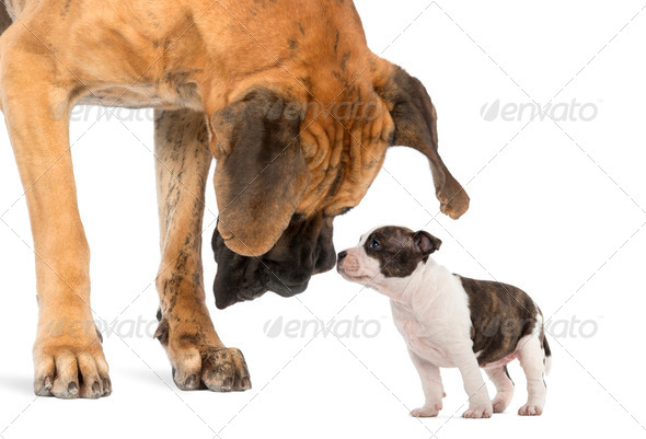 Great Dane looking at an American Staffordshire puppy, isolated on white - Stock Photo - Images