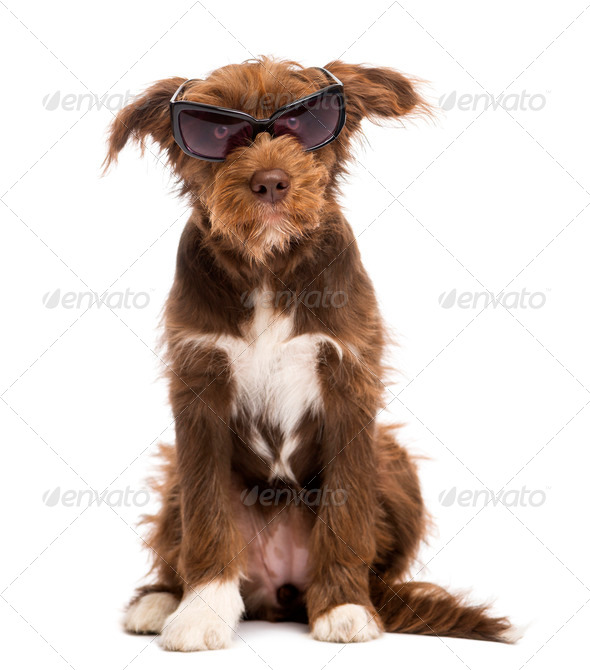 Crossbreed, 5 months old, sitting and wearing sunglasses, against white background - Stock Photo - Images