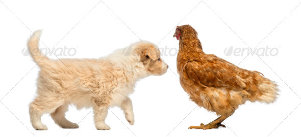 Border Collie puppy, 6 weeks old, looking at a hen standing in front of white background - Stock Photo - Images