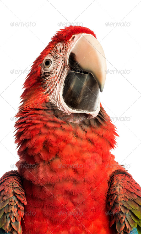 Close-up of a Green-winged Macaw, Ara chloropterus, 1 year old, in front of white background - Stock Photo - Images