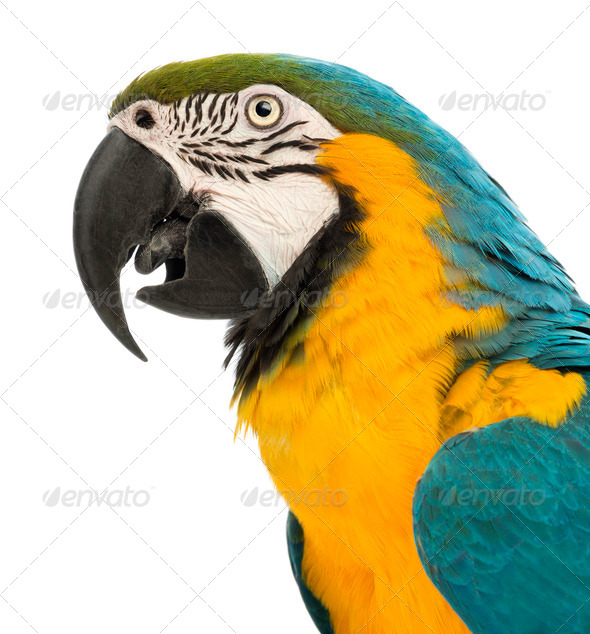 Side view close-up of a Blue-and-yellow Macaw, Ara ararauna, 30 years old - Stock Photo - Images