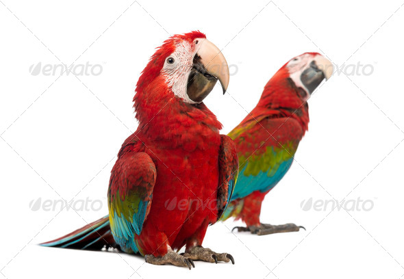 Two Green-winged Macaws, 1 year old, in front of white background - Stock Photo - Images