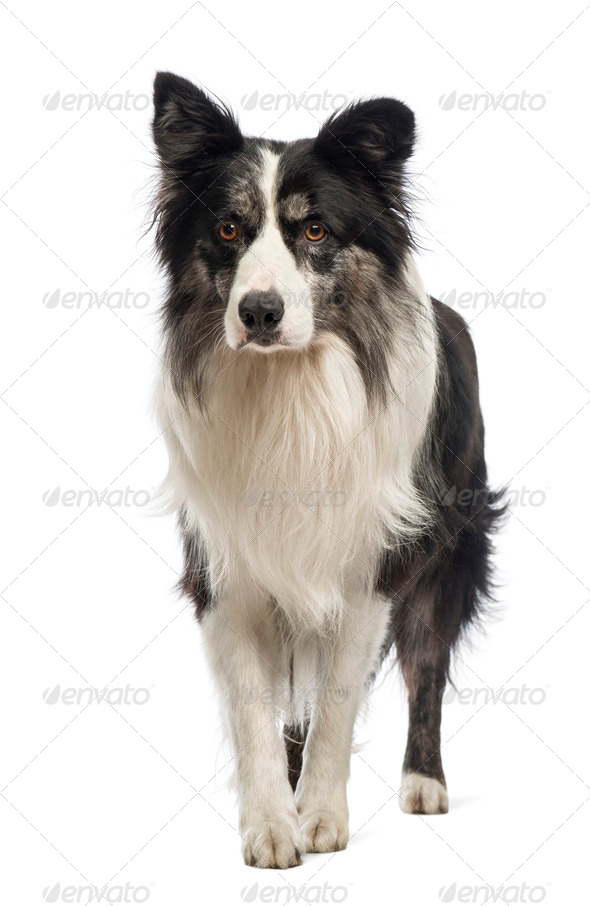 Border Collie, 8.5 years old, in front of white background - Stock Photo - Images