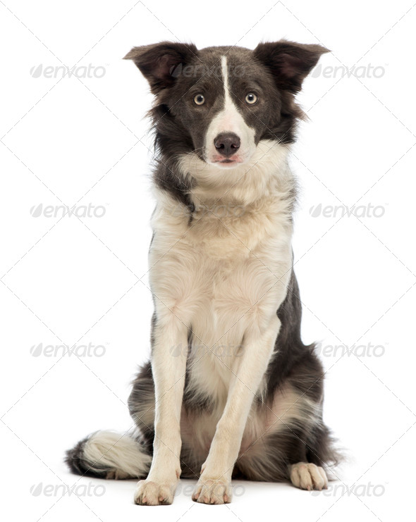 Border Collie, 8 months old, sitting and looking at the camera in front of white background - Stock Photo - Images