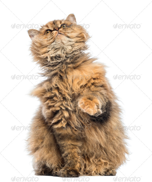 Selkirk Rex, 5 months old, sitting and looking up against white background - Stock Photo - Images