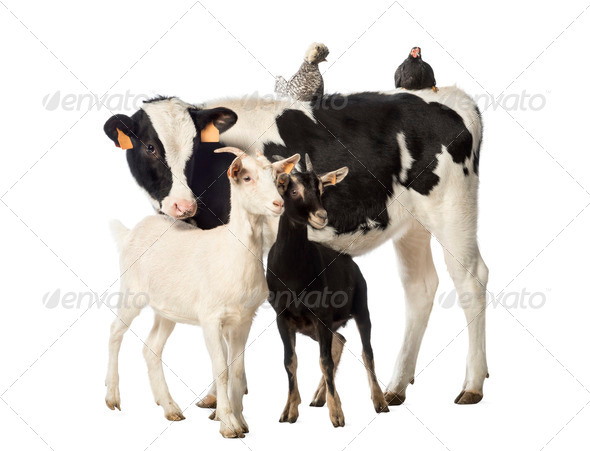 Veal, 8 months old, Polish chicken and a hen lying on its back and two goats standing  - Stock Photo - Images