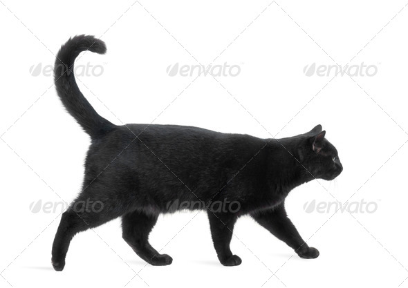 Side view of a Black Cat walking, isolated on white - Stock Photo - Images