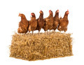 Row of hen standing on a straw bale in front of white background
