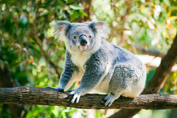 Cute koala in its natural habitat of gumtrees - Stock Photo - Images