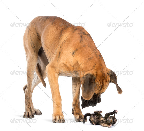 Great Dane looking at a kitten lying on its back and attacking, isolated on white - Stock Photo - Images