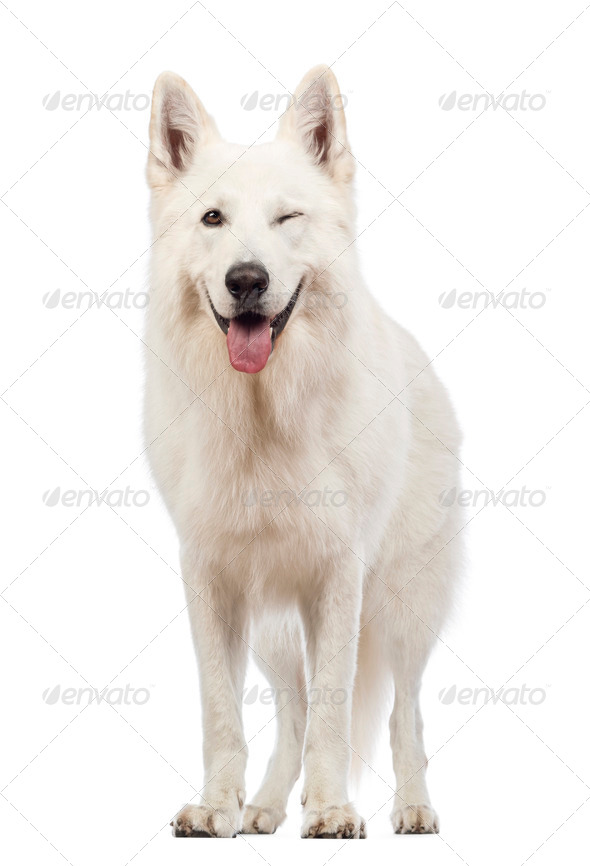 Swiss Shepherd dog, 5 years old, panting and winking, blinking in front of white background - Stock Photo - Images