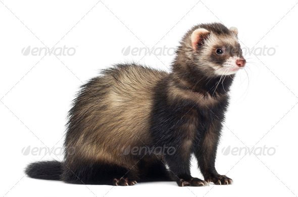 Ferret sitting and looking right, isolated on white - Stock Photo - Images