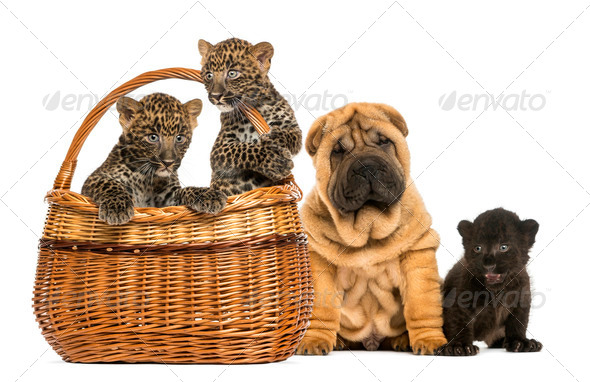 Sharpei puppy with Black Leopard cub and Spotted Leopards cubs in a wicker basket, isolated on white - Stock Photo - Images