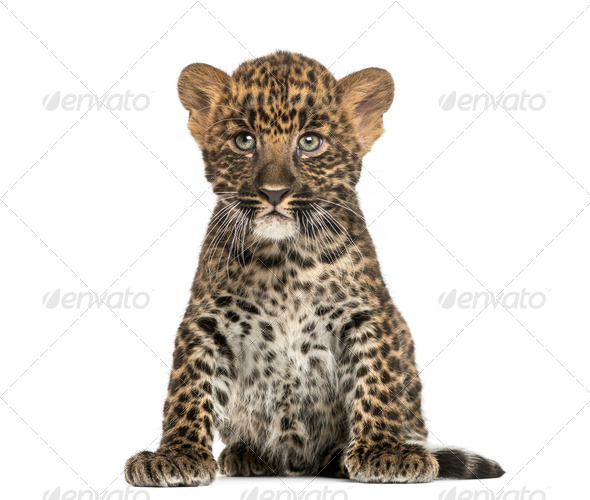 Spotted Leopard cub sitting - Panthera pardus, 7 weeks old, isolated on white - Stock Photo - Images
