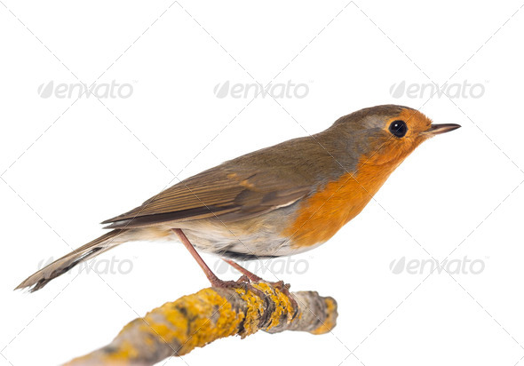 European Robin perched on a branch - Erithacus rubecula - isolated on white - Stock Photo - Images
