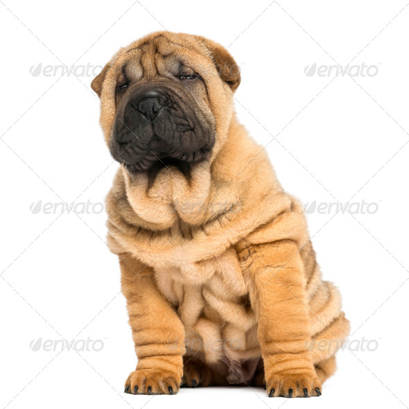 front view of a Shar pei puppy sitting and looking away (11 weeks old) isolated on white - Stock Photo - Images