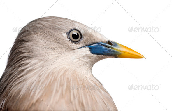 Close-up on a Chestnut-tailed Starling, side view - Sturnia malabarica - Stock Photo - Images