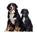 Bernese Mountain Dog and crossbreed between labrador and beagle, 1 year old, sitting and panting