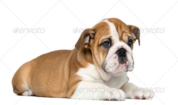 English Bulldog Puppy lying, 2 months old, isolated on white - Stock Photo - Images