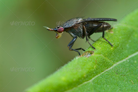 Snail-killing Fly - Stock Photo - Images