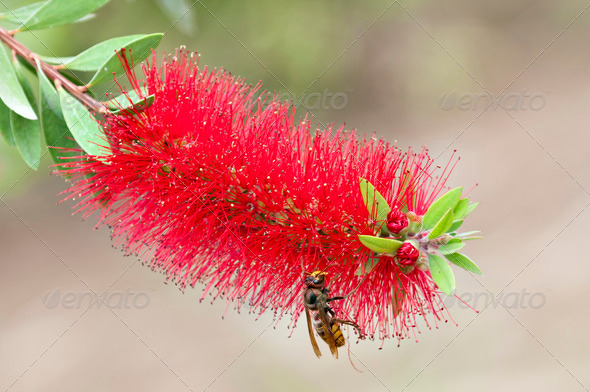 Hornet on Tropical Flower - Stock Photo - Images