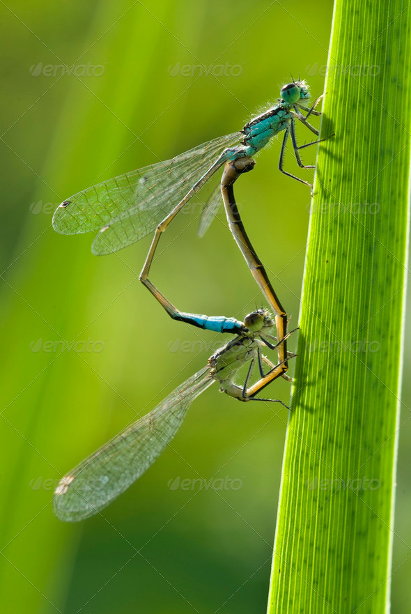 Mating Damselflies - Stock Photo - Images