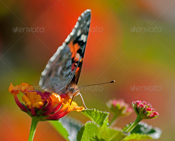 Butterfly on Lantana Flowers - Stock Photo - Images