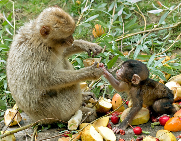 Sharing Food between Mother and Baby Monkey - Stock Photo - Images