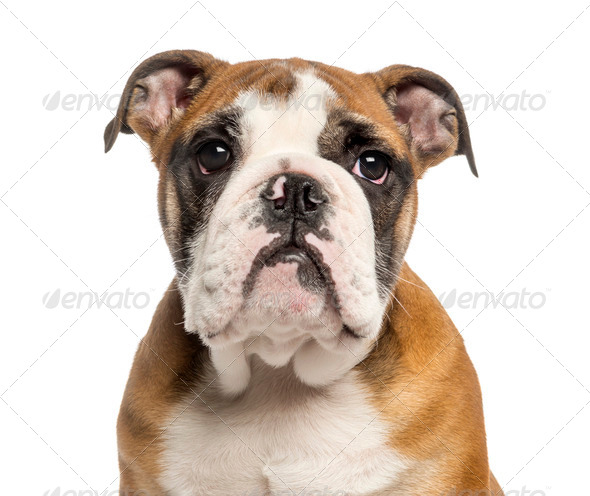Close-up of an English Bulldog puppy, 3,5 months old, isolated on white - Stock Photo - Images