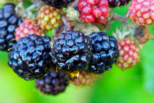Blackberry fruits - Stock Photo - Images