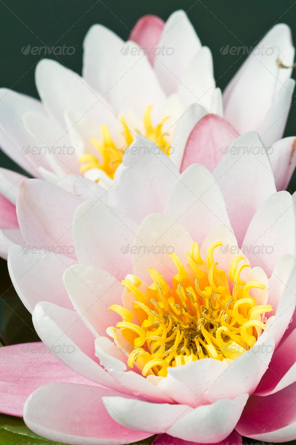 Waterlily FLowers - Stock Photo - Images