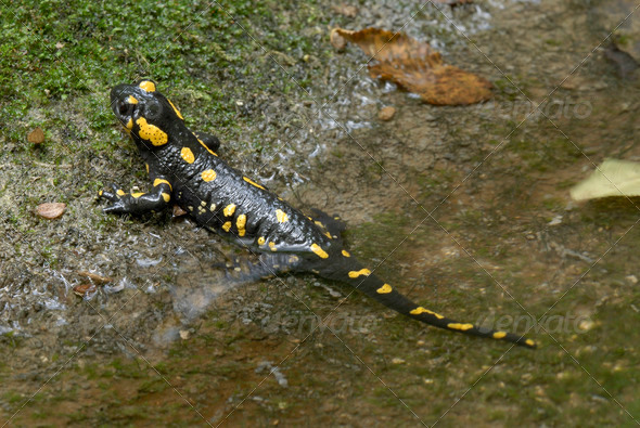 Fire Salamander - Stock Photo - Images