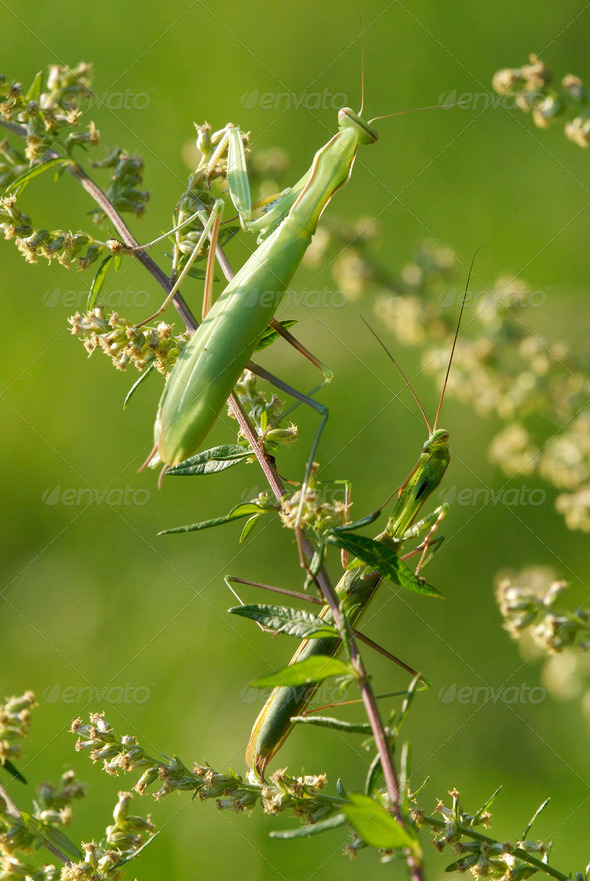 Male and Female Mantis - Stock Photo - Images