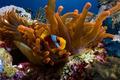 Clownfish in Orange Anemone - PhotoDune Item for Sale