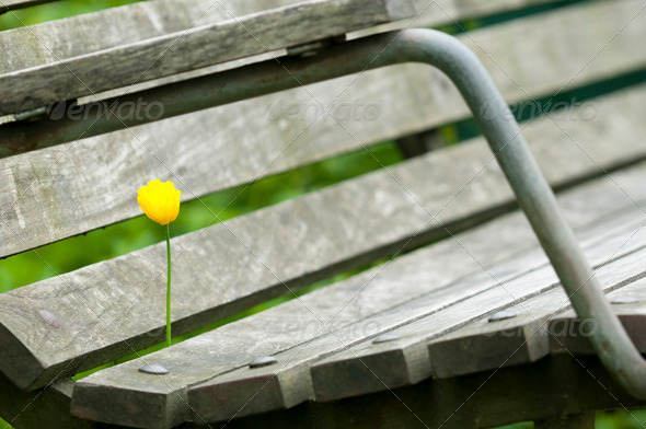 Yellow Poppy Flower in a Bench - Stock Photo - Images