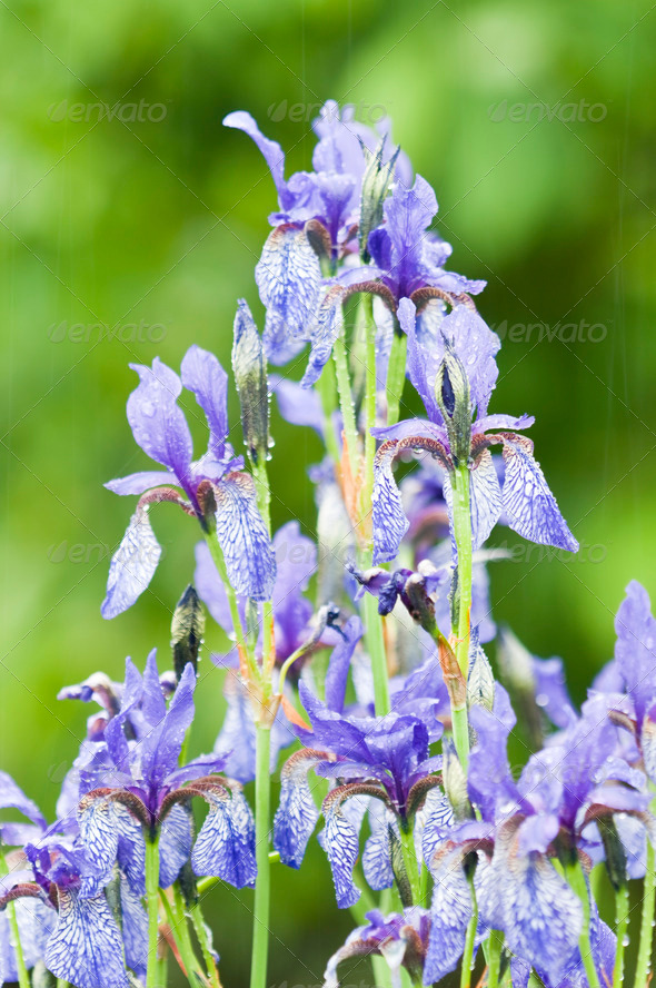 Iris Blue Flowers - Stock Photo - Images