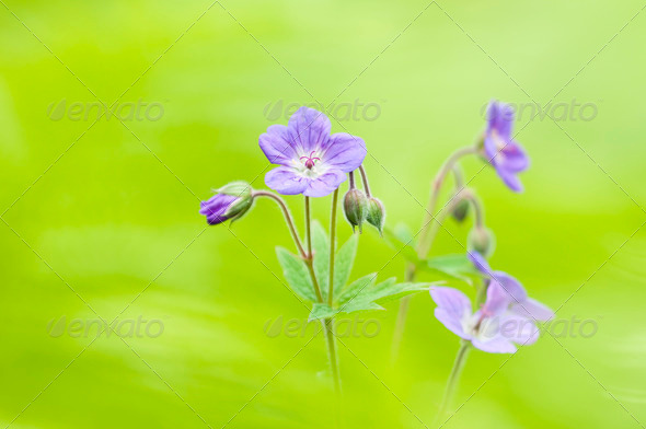 Wild Geranium Flowers - Stock Photo - Images