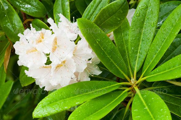Azalea White Flowers - Stock Photo - Images