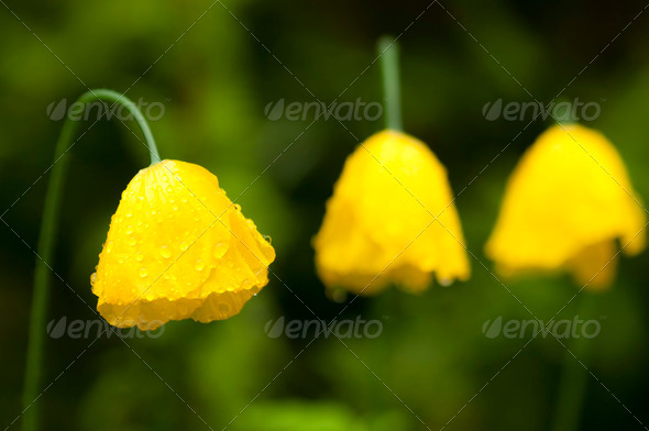 Yellow Poppy Flowers under the Rain - Stock Photo - Images