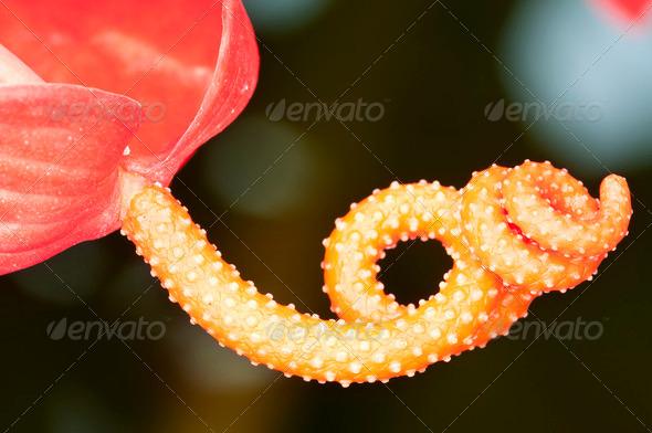 Anturium Flower Detail - Stock Photo - Images